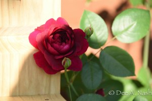 'Darcey Bussell' in a beauty shot. This is one beautiful English rose.