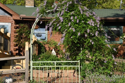 Wisteria and arbor seen from the other side. After it blooms, the foliage stays beautiful until a hard freeze.
