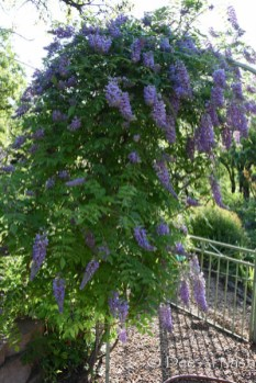 Wisteria frutescens 'Amethyst Falls' covers one side of the arbor gate.
