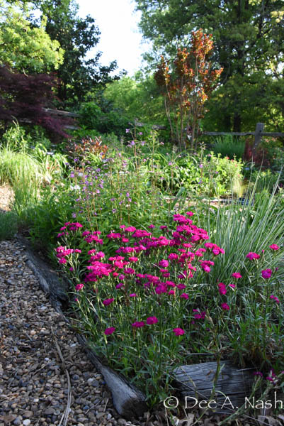 Lower garden with heritage dianthus.