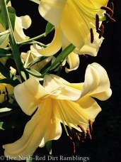 'Conca d' Or' - Orienpet Hybrid Lilies are much more beautiful in person than online.