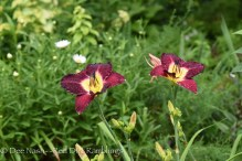Hemerocallis 'Bela Lugosi' one of dark daylilies.