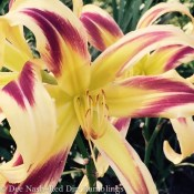 Hemerocallis 'Freewheelin'