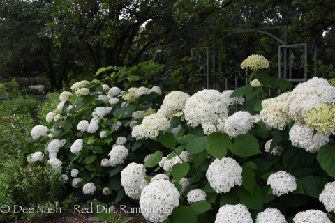 Hydrangeas for Oklahoma's finicky climate. Hydrangea arborescens 'Annabelle' from the side. You can see her in many other poses on this blog.