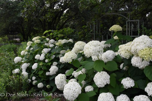 Hydrangea arborescens 'Annabelle' from the side. You can see her in many other poses on this blog.