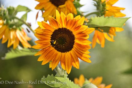 Another glorious sunflower. This one is banded.