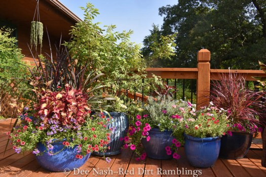 Several containers on the back deck. In the pot on the left is 'Princess Caroline' grass, 'Henna' coleus, purple scaevola, Superbells® Coralberry Punch calibrochoa and alternanthera.