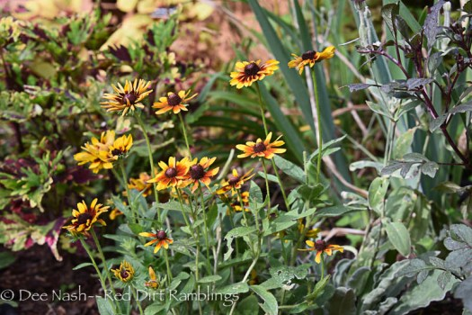 Rudbeckia hirta 'Chocolate Orange'