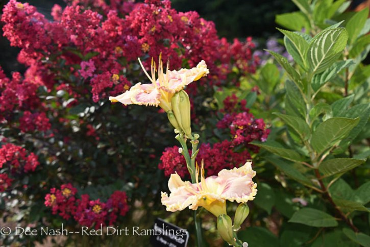 Tightwad Red crapemyrtle with H. 'Venetian Ruffles' daylily.