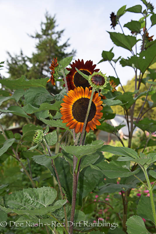 Unusual banded sunflowers. Love them.
