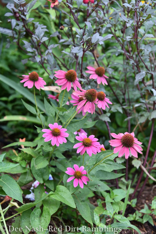 Echinacea 'Powwow Wild Berry' has very erect stems and bright color.