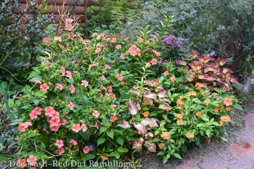 Four o'clocks, coleus, asiatic lilies make this border sing.
