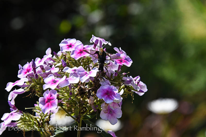 """The always delicate Snowberry Clearwing moth on Phlox paniculata 'Bright Eyes.' Pollinators prefer 'Bright Eyes' over the heirloom pink phlox probably because of the """"eye."""""""