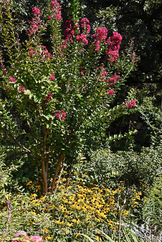 Pink crapemyrtle and blackeyed Susans, 'Goldsturm'