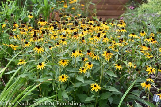 Rudbeckia fulgida 'Goldsturm' needs a lot of editing in a moist garden.