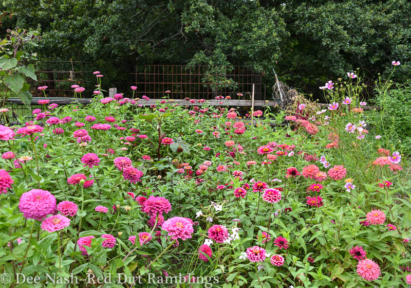 My husband calls this area the zinnia garden because there are more zinnias in the cutting garden than anything else. It's wonderful. I can't capture the true nature of the colors.