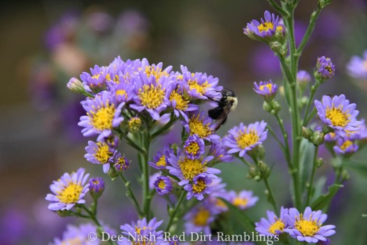 Aster tataricus, tatarian aster with a sleepy bumble.