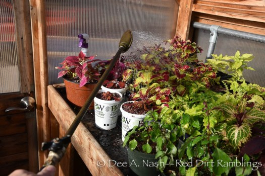 Watering the tropicals in the greenhouse with my Haws Brass Watering Wand.
