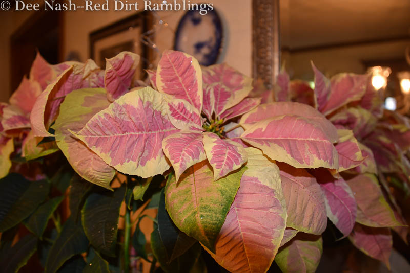 Yellow and pink poinsettia, probably 'Mars Marble.'