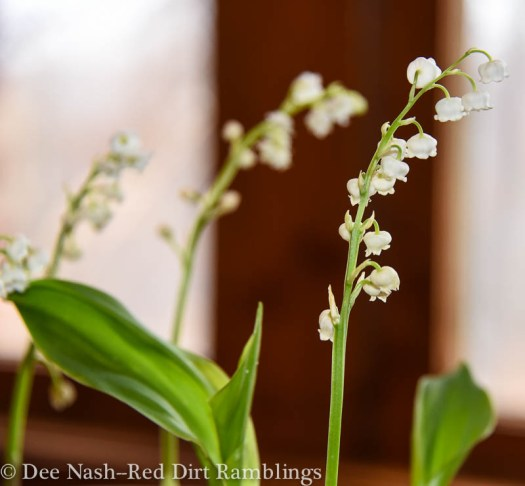 Lily of the valley from last year.