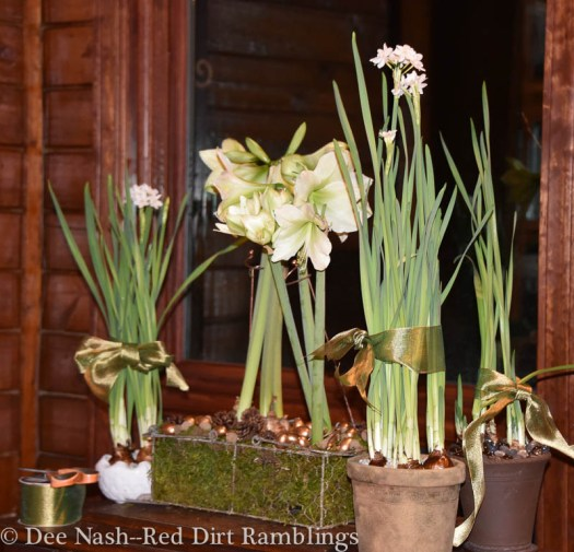 Paperwhites and amaryllis make great Christmas decor, and they go on after the holidays are over.