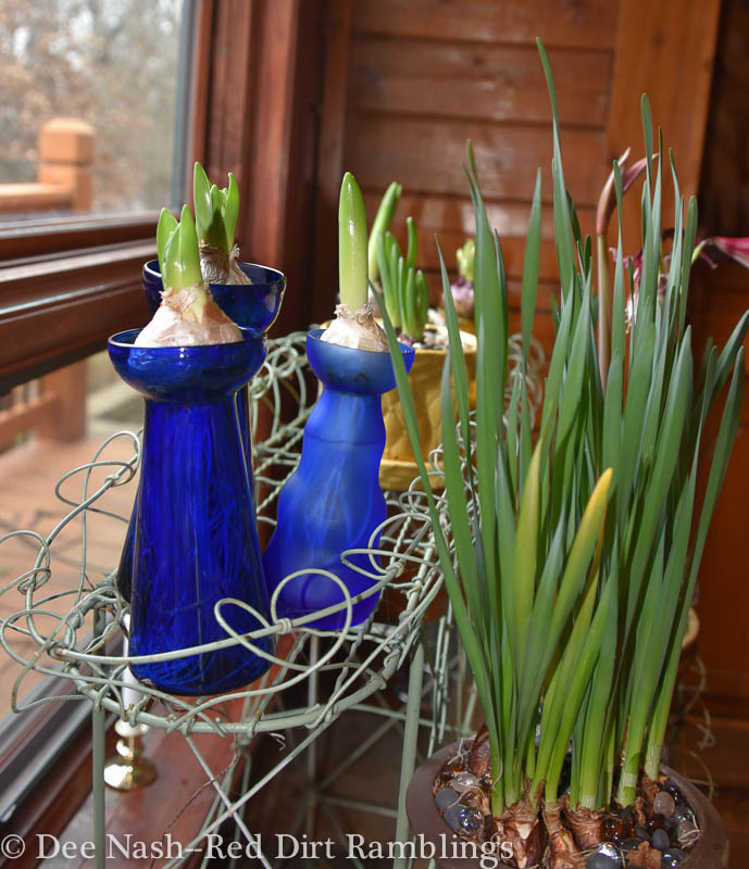 Budding hyacinths and paperwhites grace one window.