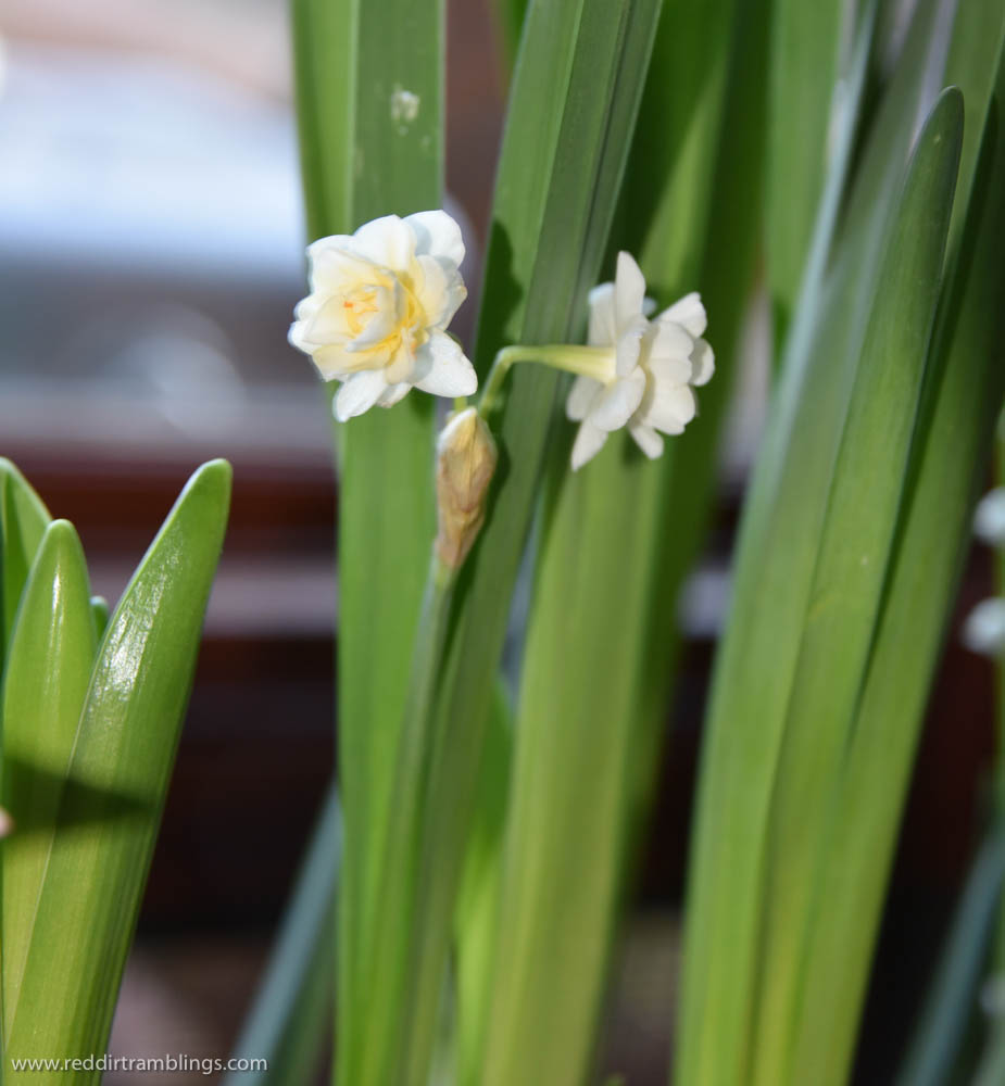 This is the only bloom I've gotten so far on 'Erlicheer' narcissus. I don't know why, but my paperwhites weren't that good this year.