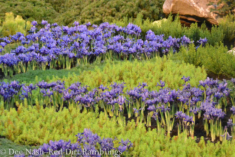 Iris reticulata and sedum creating a river and its bank in the The Tiny Tetons at the Northwest Flower and Garden Show.