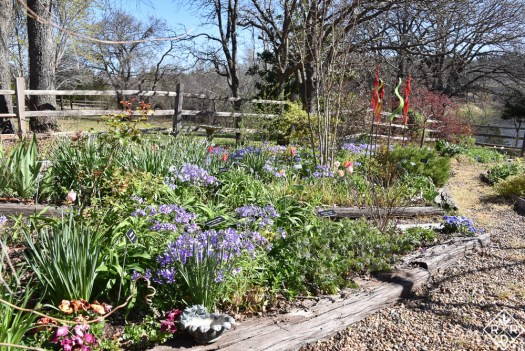 Another view of the back garden with spring bulbs and Phlox divaricata.