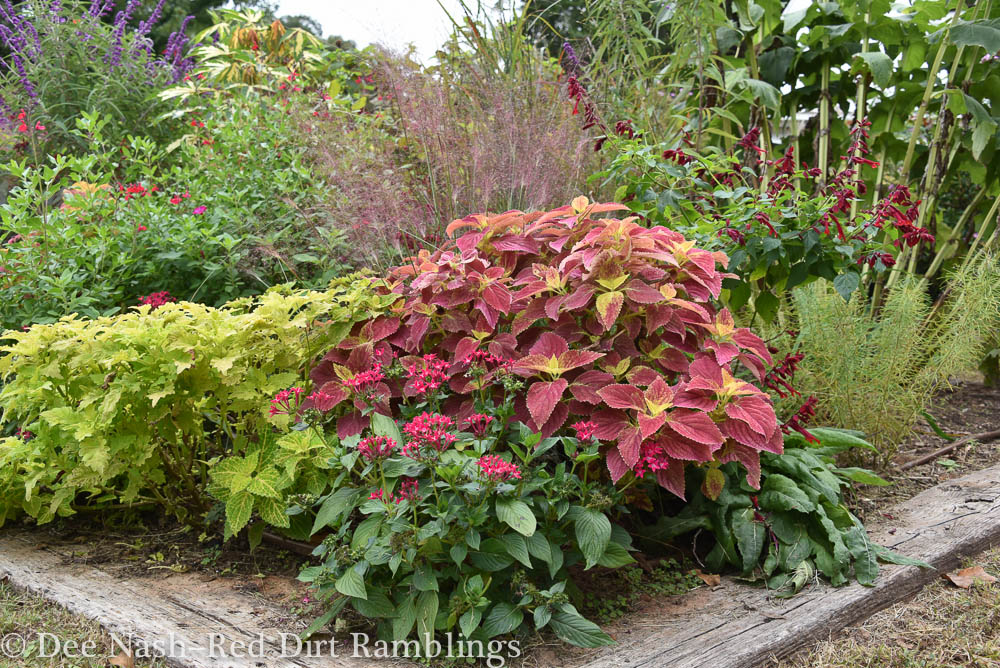 'Wasabi' and 'Alabama Sunset' Coleus with pentas. There is nothing like 'Alabama Sunset' when it gets that yellow foliage on top.