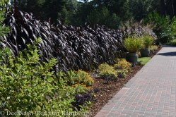 Dark grass at OSU Botanical Gardens. Might be 'Princess Caroline' or Vertigo.