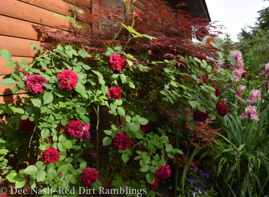 Rosa 'Darcey Bussell' with Acer palmatum 'Rilas Red'