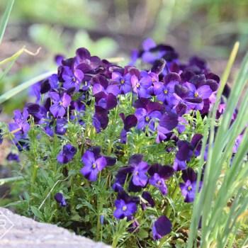 Violas false spring