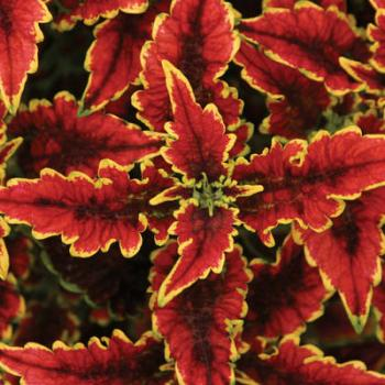 'El Brighto' coleus. Image courtesy of Proven Winners.