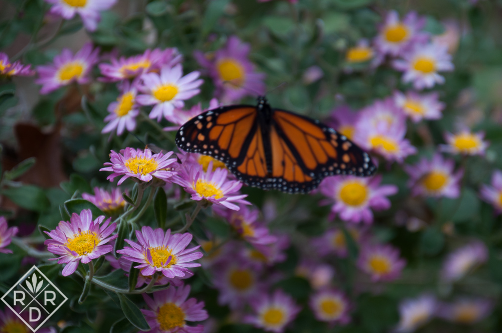Adult Monarch on 'Will's Wonderful' mum is all of its bright glory.