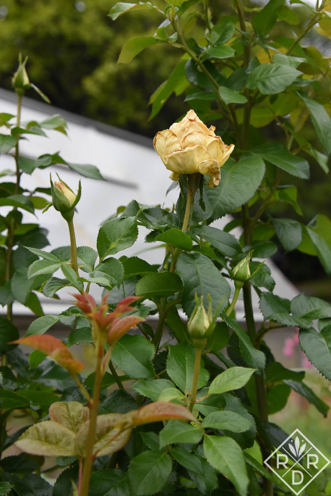 Mummy blooms on a trial rose. I can't remember the variety right now, but it's an amazing plant.