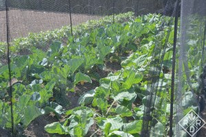 Brassicas in the vegetable garden with netting.