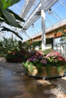 Cool planters in greenhouse holding lots of pelargoniums.