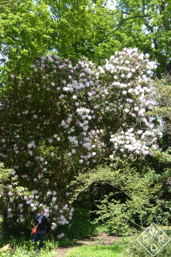 Can you see me? I'm standing next to the largest rhododendron I've ever seen.