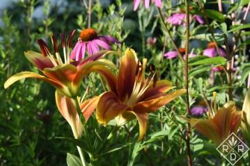 'Kaveri' Oriental-Asiatic hybrid lily