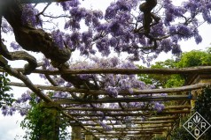The wisteria walk, probably Chinese wisteria this time, reminded me so much of the one at Biltmore in Asheville, NC.