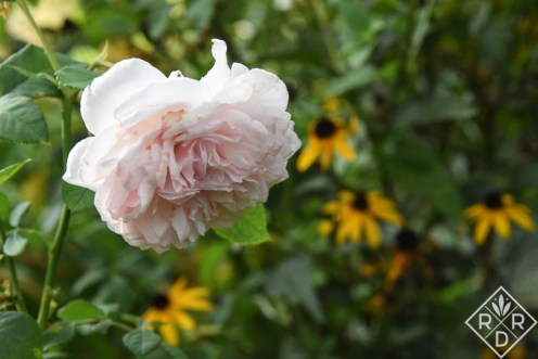 Rosa 'Olivia Rose Austin,' another newer David Austin rose in my garden.