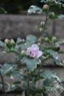 Hibiscus syriacus 'America Irene Scott' Sugar Tip ® hibiscus. These were once known as althea.