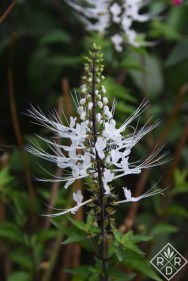 Orthosiphon aristatus, cat's whiskers is one of my favorite tropical plants.