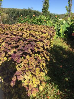 In our hot climate, Todd and his staff used coleus as summer hedges.