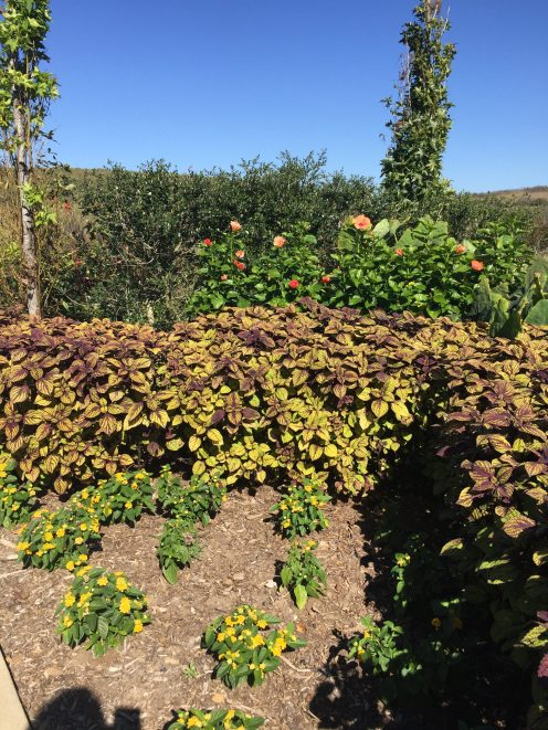 Another view of the coleus grown as formal landscape design.