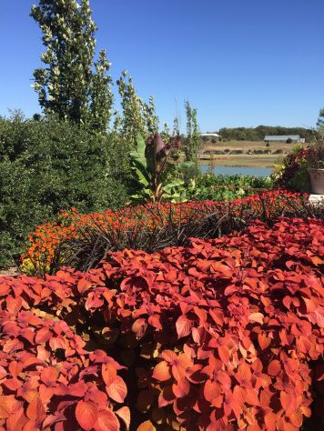 Another view of 'Campfire' coleus and purple fountain grass in the terraces.