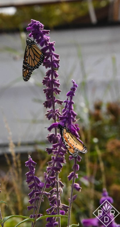 Monarchs love Salvia leucantha, Mexican bush sage.It's a late-summer flower that will bloom in a