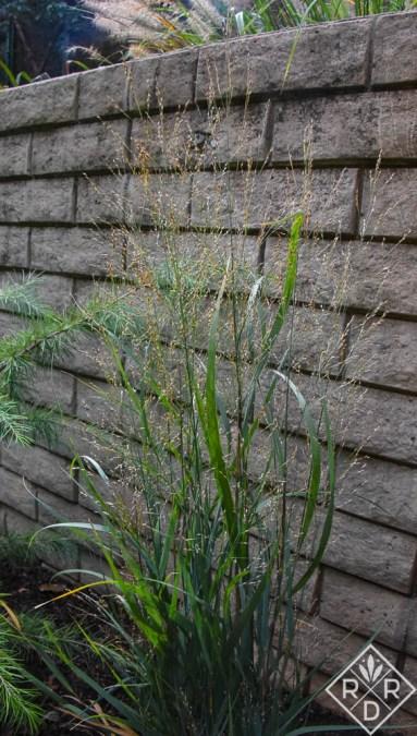 Panicum virgatum 'Apache Rose' switchgrass.