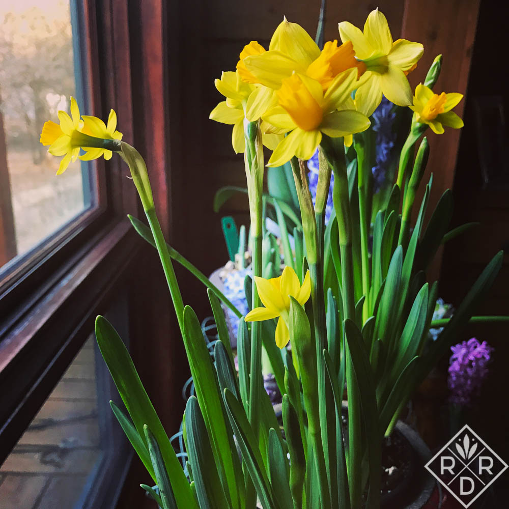 Forced daffodils from Trader Joe's.
